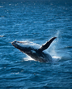 whale-jumping-230x285_83